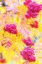 Купить «Bunches of ripe rowan.», фото № 28803755, снято 13 октября 2017 г. (c) Акиньшин Владимир / Фотобанк Лори