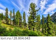 Купить «Сибирские кедровые сосны ( Pinus sibirica ) на пологом склоне горной долины», фото № 28804043, снято 19 июня 2018 г. (c) Виктор Никитин / Фотобанк Лори