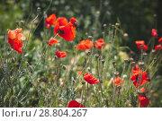Купить «Wild red poppies growing on summer meadow», фото № 28804267, снято 6 мая 2018 г. (c) EugeneSergeev / Фотобанк Лори