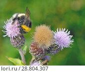 Купить «A bumblebee collects nectar from a flower.», фото № 28804307, снято 16 июля 2018 г. (c) Александр Клопков / Фотобанк Лори