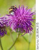 Купить «A bumblebee collects nectar from a flower.», фото № 28804315, снято 19 июля 2018 г. (c) Александр Клопков / Фотобанк Лори