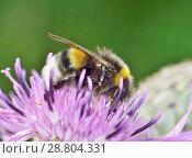 Купить «A bumblebee collects nectar from a flower.», фото № 28804331, снято 16 июля 2018 г. (c) Александр Клопков / Фотобанк Лори