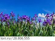 Купить «Фиолетовые ирисы на фоне голубого неба с облаками», фото № 28806555, снято 30 мая 2016 г. (c) Наталья Волкова / Фотобанк Лори