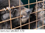 Купить «Маленький камчатский бурый медвежонок в вольере зоопарка», фото № 28807179, снято 29 мая 2018 г. (c) А. А. Пирагис / Фотобанк Лори