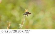 Купить «Insect fly with striped abdomen is sitting on the green grass», видеоролик № 28807727, снято 19 августа 2018 г. (c) Константин Шишкин / Фотобанк Лори