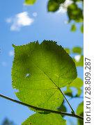 Купить «Листья липы на фоне голубого неба», фото № 28809287, снято 6 июля 2018 г. (c) Григорий Стоякин / Фотобанк Лори