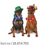 Купить «Two miniature Pinscher dogs in hats», фото № 28814703, снято 1 июля 2018 г. (c) Алексей Кузнецов / Фотобанк Лори