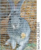 Купить «Грустный серый кролик сидит в клетке, положив лапу на решетку», фото № 28820991, снято 22 июля 2018 г. (c) Екатерина Овсянникова / Фотобанк Лори