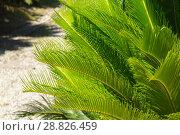 Купить «Cycas revoluta (Sotetsu, sago palm, king sago, sago cycad, Japanese sago palm), is a species of gymnosperm in the family Cycadaceae, native to southern Japan including the Ryukyu Islands», фото № 28826459, снято 8 июля 2018 г. (c) Григорий Стоякин / Фотобанк Лори
