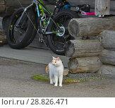 Купить «Beautiful cat on leash on walk near wooden cottage», фото № 28826471, снято 14 июля 2018 г. (c) Валерия Попова / Фотобанк Лори