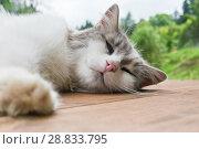 Купить «Серо-белая кошка спит на деревянном полу на фоне деревьев», фото № 28833795, снято 22 июля 2018 г. (c) Екатерина Овсянникова / Фотобанк Лори