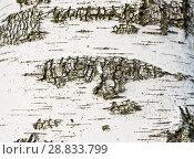 Купить «Текстура коры березы (фон)», фото № 28833799, снято 22 июля 2018 г. (c) Екатерина Овсянникова / Фотобанк Лори