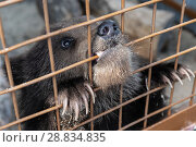 Купить «Камчатский бурый медвежонок грызет решетку в вольере зоопарка», фото № 28834835, снято 29 мая 2018 г. (c) А. А. Пирагис / Фотобанк Лори