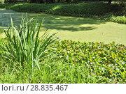 Купить «Лето. Заросший пруд», фото № 28835467, снято 18 августа 2017 г. (c) Илюхина Наталья / Фотобанк Лори