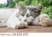 Купить «Серо-белая кошка спит на деревянном полу на летним днем», фото № 28835475, снято 22 июля 2018 г. (c) Екатерина Овсянникова / Фотобанк Лори
