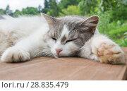 Купить «Серо-белая кошка спит на деревянном полу на фоне леса. Летний день», фото № 28835479, снято 22 июля 2018 г. (c) Екатерина Овсянникова / Фотобанк Лори