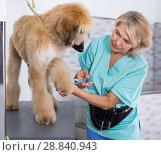 Купить «woman hairdresser cuts Afghan puppy Shepherd in beauty salon for animals», фото № 28840943, снято 17 октября 2017 г. (c) Татьяна Яцевич / Фотобанк Лори