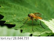 Купить «Жёлтая муха сидит на траве», эксклюзивное фото № 28844731, снято 25 июня 2018 г. (c) Игорь Низов / Фотобанк Лори