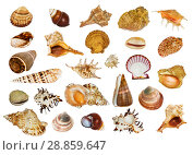Коллаж из морских раковин разной формы на белом фоне изолировано. Стоковое фото, фотограф Наталья Волкова / Фотобанк Лори