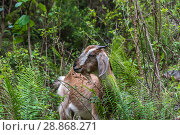 Купить «A young goat in green thickets», фото № 28868271, снято 10 апреля 2018 г. (c) Валерий Смирнов / Фотобанк Лори