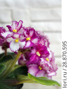 Купить «Beautiful flower Saintpaulia (Узамбарская Фиалка)», фото № 28870595, снято 21 февраля 2020 г. (c) ElenArt / Фотобанк Лори