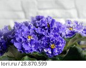 Купить «Beautiful flower Saintpaulia (Узамбарская Фиалка)», фото № 28870599, снято 21 февраля 2020 г. (c) ElenArt / Фотобанк Лори
