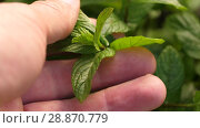 Купить «Man's hand touching mint herb», видеоролик № 28870779, снято 19 июня 2018 г. (c) Илья Шаматура / Фотобанк Лори