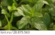 Купить «Fresh Mint Herb under rain», видеоролик № 28875563, снято 19 июня 2018 г. (c) Илья Шаматура / Фотобанк Лори