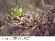 Купить «Two of the sprout of a fern in the spring», фото № 28875627, снято 2 мая 2018 г. (c) Юрий Шурчков / Фотобанк Лори