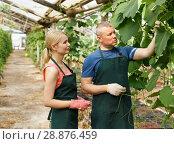 Купить «Farmers controlling growing of squashes», фото № 28876459, снято 5 июля 2018 г. (c) Яков Филимонов / Фотобанк Лори