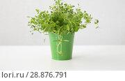 Купить «green thyme herb in pot on table», видеоролик № 28876791, снято 17 июля 2018 г. (c) Syda Productions / Фотобанк Лори