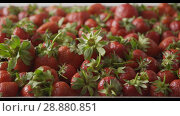 Купить «A woman's hand puts strawberries on a tray with berries. Close-up of a wet red ripe strawberry on a tray of steel with holes. Tracking slow motion video. Soft focus. Full HD video, 240fps, 1080p», видеоролик № 28880851, снято 29 июня 2018 г. (c) Ярослав Данильченко / Фотобанк Лори