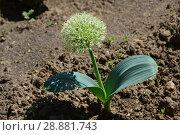Купить «Молодой росток декоративного лука весной», эксклюзивное фото № 28881743, снято 26 мая 2016 г. (c) lana1501 / Фотобанк Лори