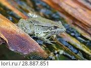 Купить «Озерная лягушка (Pelophylax ridibundus, Rana ridibunda) в сточном деревянном желобе крупным планом», фото № 28887851, снято 13 июля 2018 г. (c) Ирина Носова / Фотобанк Лори