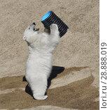Купить «Funny young polar bear (Ursus maritimus) playing», фото № 28888019, снято 16 июля 2018 г. (c) Валерия Попова / Фотобанк Лори