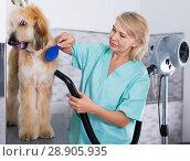 Купить «hairdresser professional dries hair by fen dog fur Afghan hound dog in hairdresser for animal», фото № 28905935, снято 17 октября 2017 г. (c) Татьяна Яцевич / Фотобанк Лори