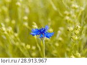 Купить «Василёк синий, или Василёк посевной (Centaurea cyanus) на поле льна (Linum usitatissimum)», фото № 28913967, снято 7 июля 2018 г. (c) Алёшина Оксана / Фотобанк Лори