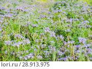 Купить «Фацелия пижмолистная, или рябинколистная, фиолетовая пижма (Phacelia tanacetifolia)», фото № 28913975, снято 7 июля 2018 г. (c) Алёшина Оксана / Фотобанк Лори