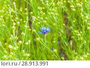 Купить «Василёк синий, или Василёк посевной (Centaurea cyanus) на поле льна (Linum usitatissimum)», фото № 28913991, снято 7 июля 2018 г. (c) Алёшина Оксана / Фотобанк Лори