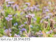 Купить «Фацелия пижмолистная, или рябинколистная, фиолетовая пижма (Phacelia tanacetifolia)», фото № 28914015, снято 7 июля 2018 г. (c) Алёшина Оксана / Фотобанк Лори