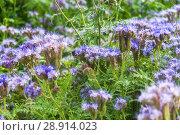 Купить «Фацелия пижмолистная, или рябинколистная, фиолетовая пижма (Phacelia tanacetifolia)», фото № 28914023, снято 7 июля 2018 г. (c) Алёшина Оксана / Фотобанк Лори