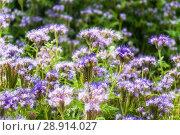 Купить «Фацелия пижмолистная, или рябинколистная, фиолетовая пижма (Phacelia tanacetifolia)», фото № 28914027, снято 7 июля 2018 г. (c) Алёшина Оксана / Фотобанк Лори