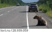 Купить «Камчатский бурый медведь попрошайничает на автотрассе», видеоролик № 28939059, снято 4 августа 2018 г. (c) А. А. Пирагис / Фотобанк Лори