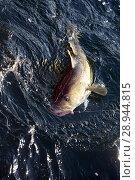 Wismar, Germany, a cod has bitten in deep-sea fishing. Стоковое фото, агентство Caro Photoagency / Фотобанк Лори