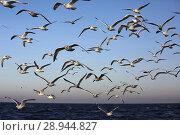 Купить «Wismar, Germany, Moewen in flight over the Baltic Sea», фото № 28944827, снято 30 декабря 2016 г. (c) Caro Photoagency / Фотобанк Лори