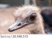 Купить «Ostrich head close-up», фото № 28948515, снято 27 июля 2018 г. (c) Катерина Белякина / Фотобанк Лори