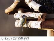 Купить «New Kaetwin, Germany - Great tit eats Koerner from a Vogelhaeuschen in winter», фото № 28950999, снято 22 января 2017 г. (c) Caro Photoagency / Фотобанк Лори