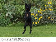 Купить «Neuenhagen, Germany, Riesenschnauzer has caught a ball», фото № 28952695, снято 23 сентября 2017 г. (c) Caro Photoagency / Фотобанк Лори