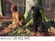 Купить «Berlin, Germany, Magyar Vizsla (left) and Riesenschnauzer sit attentively in the forest on a tree», фото № 28952995, снято 3 декабря 2017 г. (c) Caro Photoagency / Фотобанк Лори