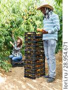 Купить «Successful male owner of orchard gathering harvest of ripe peaches on sunny day», фото № 28954671, снято 12 июля 2018 г. (c) Яков Филимонов / Фотобанк Лори